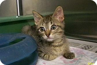 Domestic Shorthair Kitten for adoption in Dover, Ohio - Foster