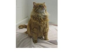 Maine Coon Cat for adoption in North Kingstown, Rhode Island - Garfield