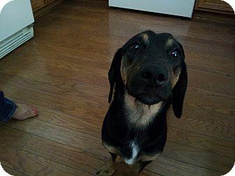 Dachshund Mix Dog for adoption in Gilbert, Arizona - Dax