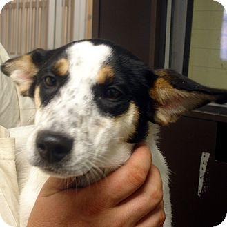 Australian Cattle Dog/Jack Russell Terrier Mix Dog for adoption in Manassas, Virginia - Greylin