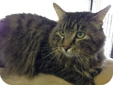 Maine Coon Cat for adoption in Snohomish, Washington - Stitch (Simply Paws