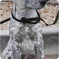 Adopt A Pet :: Hank - Gilbert, AZ