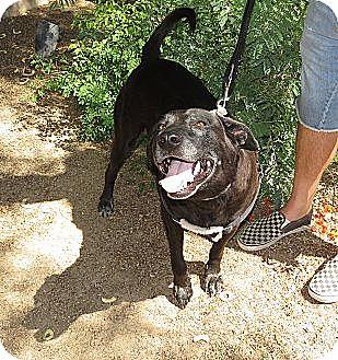 Labrador Retriever Mix Dog for adoption in Scottsdale, Arizona - Harley Lab