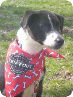 Border Collie/Terrier (Unknown Type, Medium) Mix Puppy for adoption in Minerva, Ohio - Princess