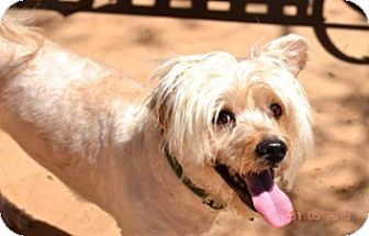 Lhasa Apso Mix Dog for adoption in Sunnyvale, California - Jackson