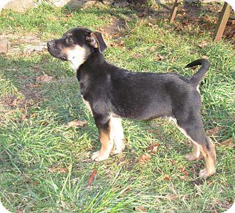 Labrador Retriever/Rottweiler Mix Puppy for adoption in West Warwick, Rhode Island - Holiday Rufus