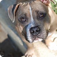 Adopt A Pet :: Zoe - La Habra, CA