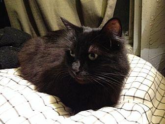 Turkish Angora Cat for adoption in Monrovia, California - Jet