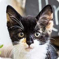 Adopt A Pet :: Ariel - Coral Springs, FL