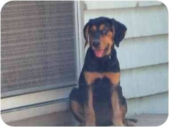 Black and Tan Coonhound/Labrador Retriever Mix Puppy for adoption in Claymont, Delaware - Daffodil