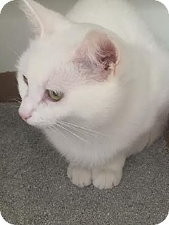 Domestic Shorthair Cat for adoption in Reisterstown, Maryland - Arielle