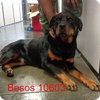 Adopt A Pet :: Besos - Greencastle, NC