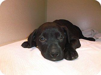 Labrador Retriever Mix Puppy for adoption in Milton, New York - Alfalfa