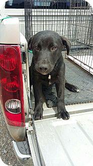Labrador Retriever Mix Puppy for adoption in Perkins, Oklahoma - Dash