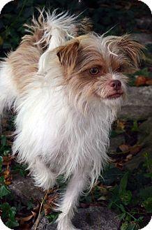 Shih Tzu/Terrier (Unknown Type, Small) Mix Dog for adoption in Bridgeton, Missouri - Elana-Adoption pending