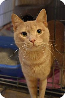 Domestic Shorthair Cat for adoption in Columbia, Maryland - Reese