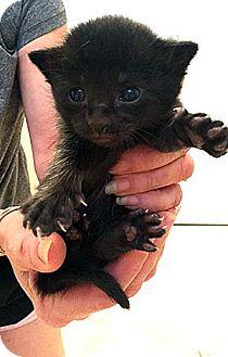 Domestic Shorthair Kitten for adoption in Fort Leavenworth, Kansas - Apple Pie