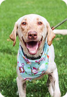 Labrador Retriever Mix Dog for adoption in Brattleboro, Vermont - Molly