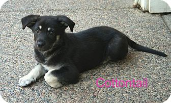 German Shepherd Dog Mix Puppy for adoption in Concord, California - Cottontail
