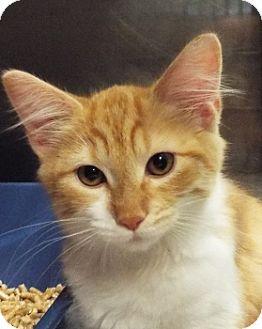 Domestic Longhair Kitten for adoption in Grants Pass, Oregon - Velma