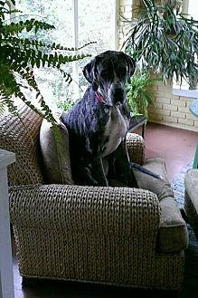 Great Dane Dog for adoption in Gallatin, Tennessee - Milo