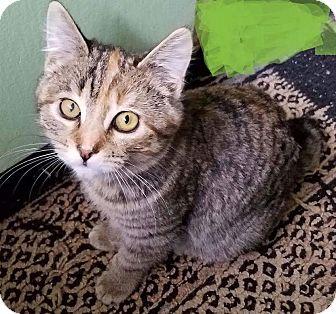 American Bobtail Kitten for adoption in Federal Way, Washington - Pringle - Cutest Pixie Bob!