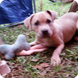 Labrador Retriever/Staffordshire Bull Terrier Mix Puppy for adoption in Kingsland, Texas - Lil Bear