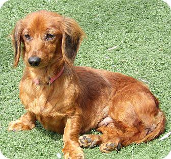 Dachshund Dog for adoption in Burlington, Vermont - Daisy Lou(11 lb) Sweetest Girl