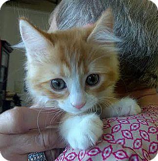Domestic Shorthair Kitten for adoption in Palo Cedro, California - Shantoo