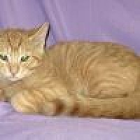 Adopt A Pet :: Tangelo - Powell, OH