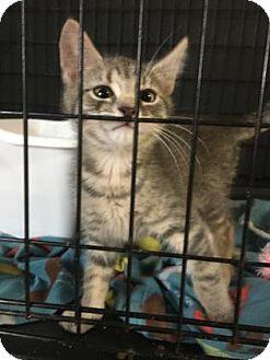Domestic Shorthair Kitten for adoption in Philadelphia, Pennsylvania - Rider