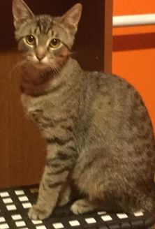 Domestic Shorthair/Domestic Shorthair Mix Cat for adoption in Saskatoon, Saskatchewan - Chrissy