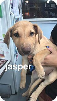 Shepherd (Unknown Type)/Doberman Pinscher Mix Puppy for adoption in Cliffside Park, New Jersey - JASPER