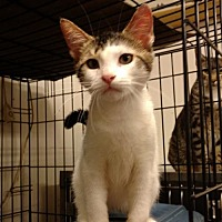 Domestic Shorthair Kitten for adoption in Land O Lakes, Florida - Foxy