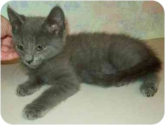 Domestic Mediumhair Kitten for adoption in North Judson, Indiana - Slate