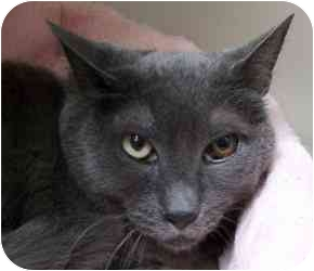 Russian Blue Cat for adoption in Salt Lake City, Utah - Sparkle