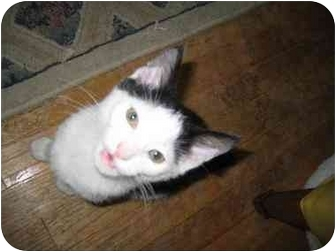 Domestic Shorthair Cat for adoption in Sterling Heights, Michigan - Micky