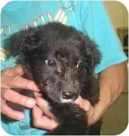 Labrador Retriever Mix Puppy for adoption in Old Bridge, New Jersey - Bravo