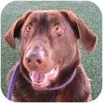 Labrador Retriever Mix Dog for adoption in Eatontown, New Jersey - Franklin