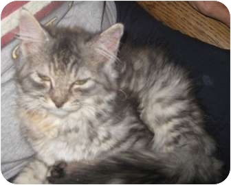RagaMuffin Kitten for adoption in Dallas, Texas - Annie