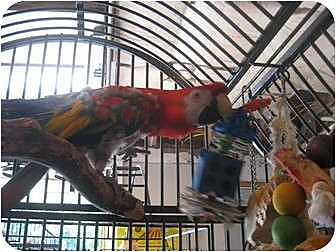 Macaw for adoption in Blairstown, New Jersey - Terry