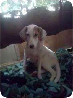 Beagle/Coonhound Mix Puppy for adoption in Egg harbor Twp, New Jersey - Mindy