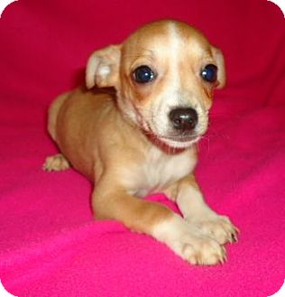 Chihuahua Mix Puppy for adoption in Londonderry, New Hampshire - Daisy Mae