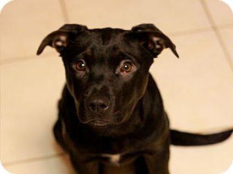 Labrador Retriever Mix Puppy for adoption in Edmonton, Alberta - Folly