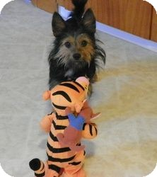 Yorkie, Yorkshire Terrier Mix Dog for adoption in North Benton, Ohio - Holly