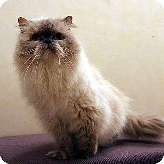 Himalayan Cat for adoption in Columbia, Illinois - Harlow
