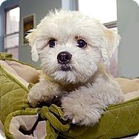Adopt A Pet :: Alvin - New York, NY