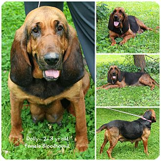 Bloodhound Dog for adoption in Evansville, Indiana - Dolly