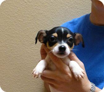Dachshund/Chihuahua Mix Puppy for adoption in Oviedo, Florida - Dia