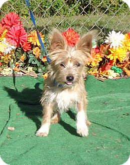 Cairn Terrier Mix Dog for adoption in Marietta, Georgia - SCOOBY see also SPONGE